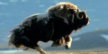 Musk Ox Safari Greenland Arctic
