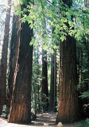 Redwood forest World's Tallest Tree